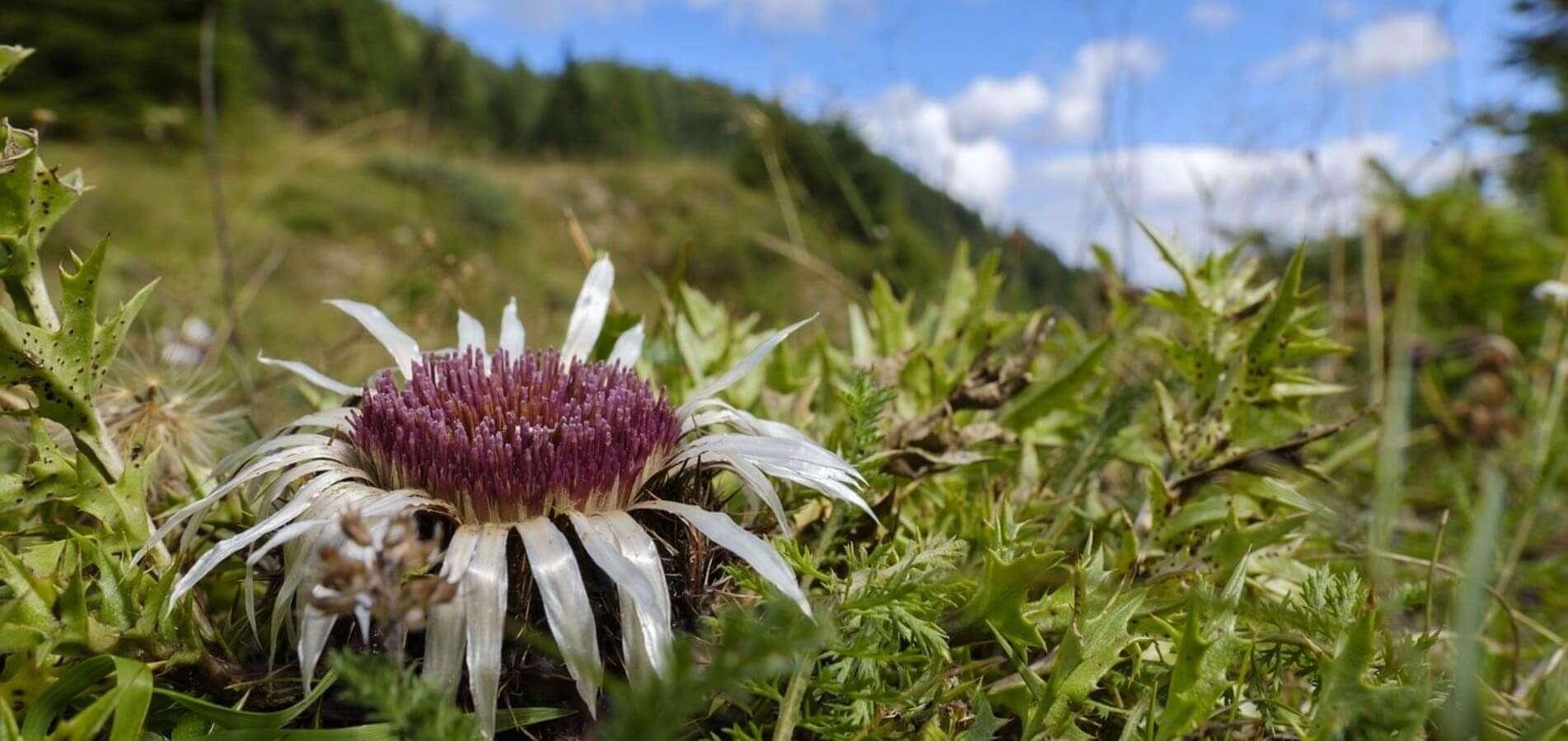 Eguzkilore, flor protectrora