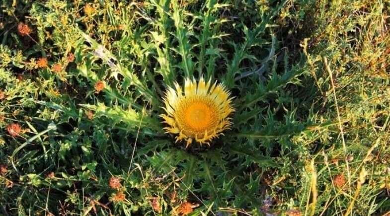 Leyenda vasca sobre la flor protectora